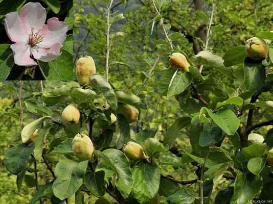 Kdouloň obecná (Cydonia oblonga)