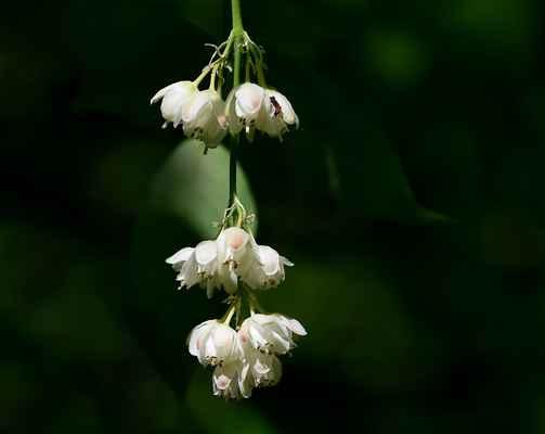 Klokoč zpeřený (Staphylea pinnata) - C3