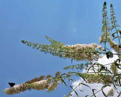Komule bělokvětá (Buddleja albiflora)