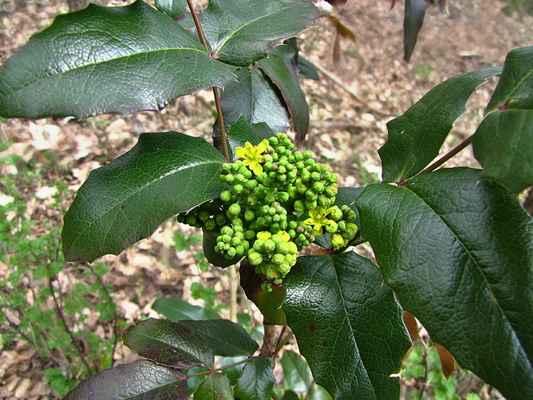 Mahónie cesmínolistá (Mahonia aquifolium)