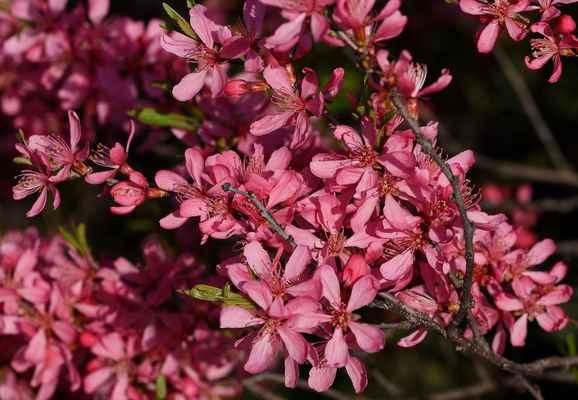 Mandloň nízká (Prunus tenella) - C1r, §1