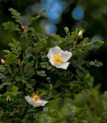 Růže bedrníkolistá (Rosa spinosissima) - C2b