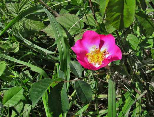 Růže galská (Rosa gallica) - C3