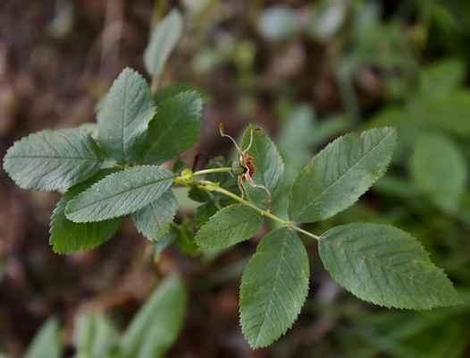 Růže májová (Rosa majalis) - C2r