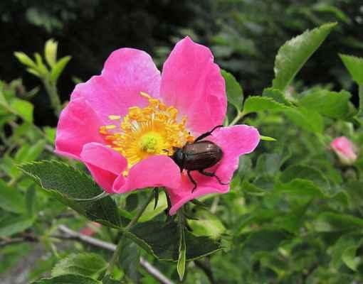 Růže podhorská (Rosa dumalis)