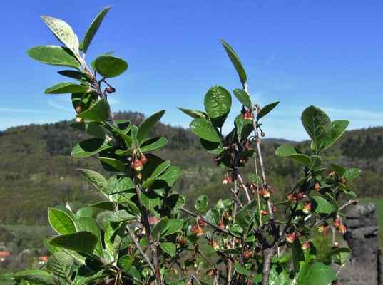 Skalník celokrajný (Cotoneaster integerrimus) - C4a