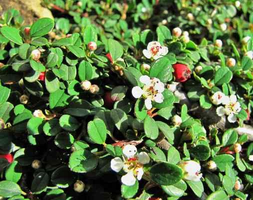 Skalník zimostrázolistý (Cotoneaster buxifolius)