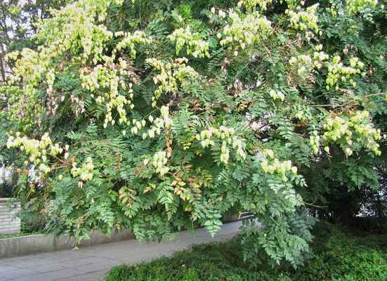 Svitel latnatý (Koelreuteria paniculata)