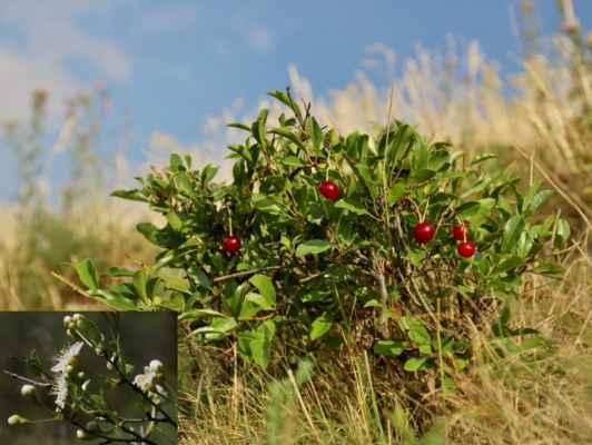 Třešeň křovitá (Prunus fruticosa) - C2t