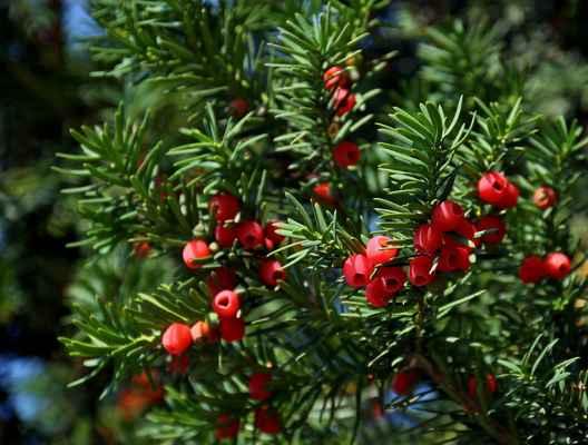 Tis červený (Taxus baccata) - C2, §2