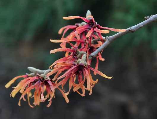 Vilín prostřední (Hamamelis × intermedia)