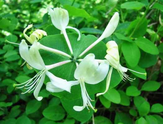 Zimolez kozí list (Lonicera caprifolium) - C3