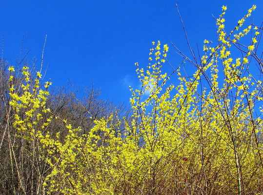 Zlatice převislá (Forsythia suspensa)