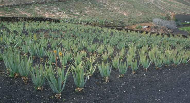 která produkuje výrobky z Aloe vera...