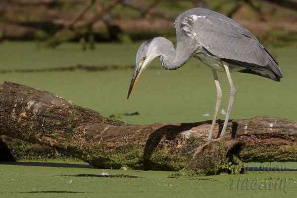 Vodní hladinu zakrývá jednoděložní rostlina okřehek menší (Lemna minor L.), ryby a žáby, kterými se volavky živí, není vidět.