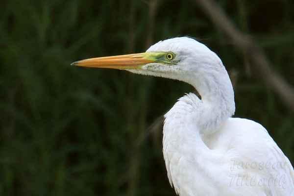 Kořen zobáku pod okem zahnutý dolů způsobuje, že volavky bílé vypadají stále nazlobeně.