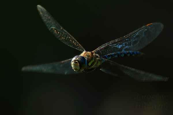 Toto šídlo patří s velikostí těla přibližně 60 mm mezi menší zástupce svého rodu.