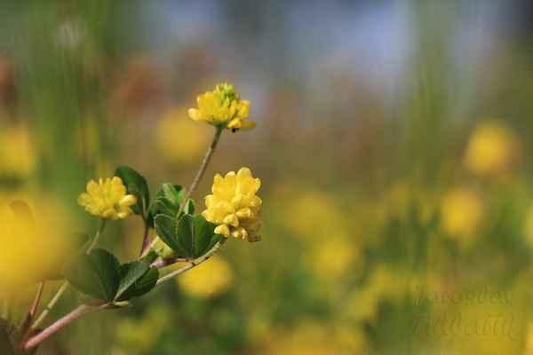 Jetel zlatý (Trifolium aureum).