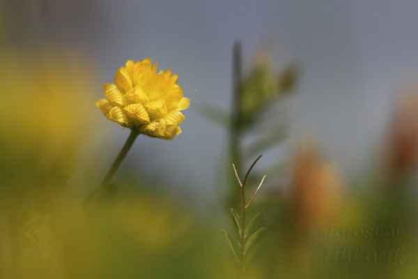 Roste roztroušeně od nížin až do horských poloh.