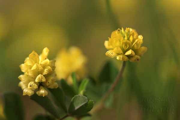 Květenství má v průměru asi 10 mm a 7 mm dlouhé květy na kratičkých stopkách.