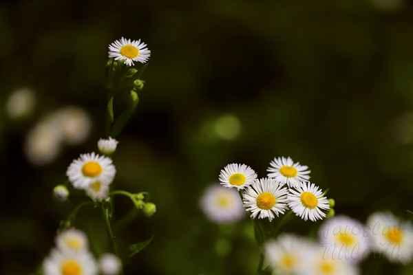 Turan roční (Erigeron annuus).