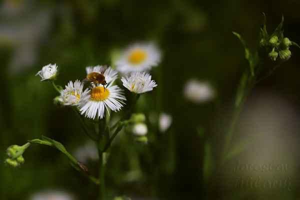 Turan roční je jednoletá volně rostoucí bylina, která pochází ze Severní Ameriky, dosahující výšky od 20 cm do 1 m.