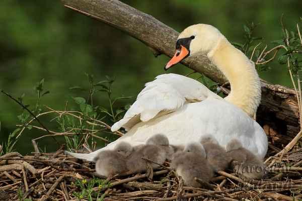 Odpočinek na hnízdě. Moc pohodlné to nemají, měkká suchá tráva v okolí není.