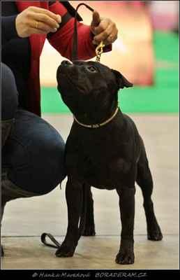 Killer Bee Domidar Dogs (Glimmer Man Domidar Dogs X Grinning Devils Domidar go Ballistic) - PSI - třída mladých - V3
