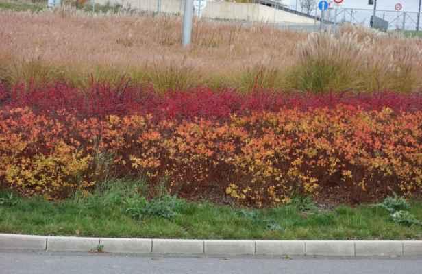 Na nejkrásnější barvy podzimu jsem paradoxně narazila na kruháči u OC za letištěm.