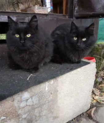 1.12.2020 - V zahrádkářské kolonii v Hodoníně, kde řešíme kastrace plachých koček (více zde) se ukázalo, že všechna koťata nejsou plachá a když se tři z nich začala mazlit a nastupovat do auta, aby jim jejich lidé neujeli, byli všichni umístěni do dočasné péče a bude se jim hledat domov. Jsou černá, s delší srstí.