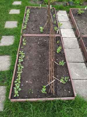 ředkvičky a hrášek - další rébus, protože je potřeba, aby je vystřídala rajčata. - Poprvé jsem se pustila do výsadby se střídáním plodin na záhonech a takhle to dopadá.