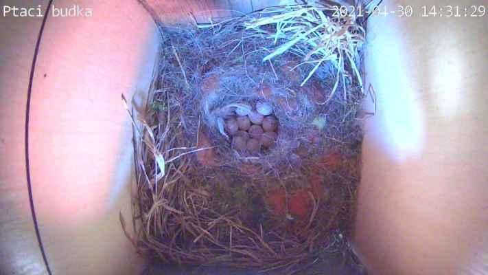 A už tu máme 11 vajíček. Víc jich asi nebude. Začala totiž na nich sedět.